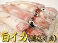 ★季節限定★白イカ (剣先イカ)バラ売り