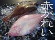 【お届け日指定不可】赤カレイ【鳥取県・兵庫県産】1尾:約700g 冷蔵便