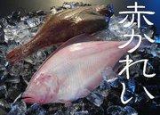 赤カレイ(鰈)【鳥取県・兵庫県産】1尾:約200g 冷蔵便