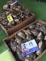 本日解禁!鳥取の夏の味覚、岩牡蠣『夏輝』